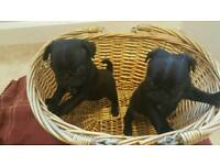 KC REG BLACK PUG PUPPIES