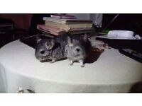 Female baby chinchillas for sale