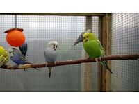 Budgies - Aviary Clearout