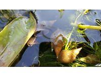Garden Pond Snails