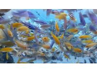 Various types of Malawi Cichlids £1.50 to £10