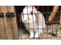 Gorgeous lop eared male bunny -13 months old.