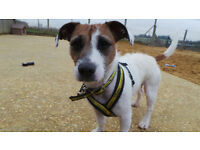 Lively Jack Russell Crossbreed