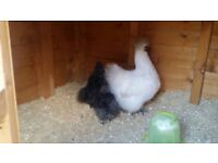 Silky hen 3 blue chicks