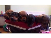Min Smooth Haired Dachshund puppies for sale