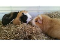 2 friendly guinea pigs in good hands. Free