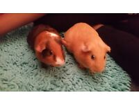 Two young female guinea pigs with cage, food , bedding and water bottle