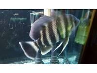 Zebra tilapia buttikoferi Africa cichild tropical fish