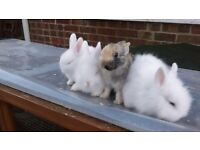 gorgeous lionhead bunnies