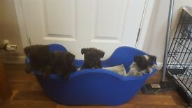 Cairn terrier mixed westie mixed jack with yorkshire