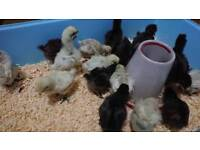 Unsexed Silkie Chicks for sale Chicken Price Reduced