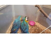 Hand reared baby blue and gold macaw for sale