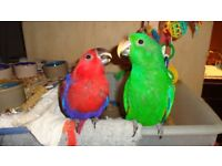 Gorgouse Hand reared Super Tame baby Electus Talking Parrot Healthy