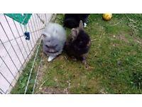 3 double mini lion head girl rabbits for sale