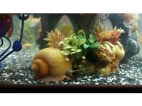 tropical water snail