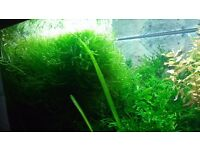 Aquatic plants for fish tanks- java moss, vallis, java fern etc