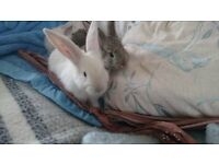 Goregous Continental Giant Rabbit Kits for sale.