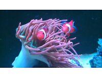 Marine aquarium Bubble Tipped Anemones, Quadra Colour.