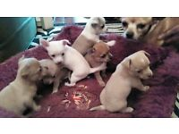 Chihuahua puppies for sale, 3 boys 1 girl. ready 12th March with first vaccination and vet check.
