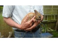 Gorgeous buck netherland dwarf rabbits ready now for loving homes