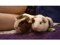 Two lovely guinea pig sisters for sale