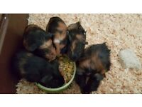 Last two left gorgeous Baby Guinea pigs