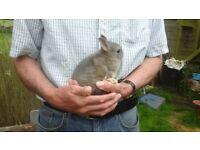 Beautiful baby buck netherland dwarf rabbits.
