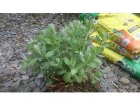 4 garden plants/shrub CHEAP