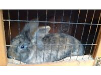 Friendly Rabbit - 6 months old male. Brown with black stripes