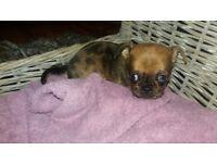 Pug/ Chihuahua rare colour tiny little girl 500