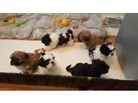 Lhasa apso puppies for sale 5 boys 1 girl
