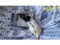 male rats free