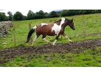 Beautiful coloured pony
