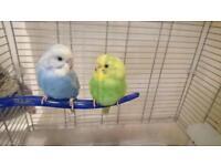 Tamed budgie birds