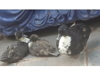 2 call ducklings for sale