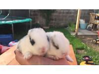 Baby bunnies ready soon mini lop