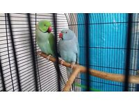 2 ringneck parrots and cage