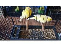 Singing canary bird 20 pound pair