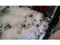 Puppies for sale beautiful pedigree bichon frise