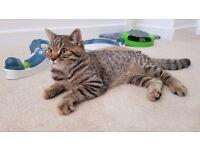 GCCF Registered British Shorthair Kitten (5mths old)