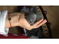 British blue kitten from champion bloodline