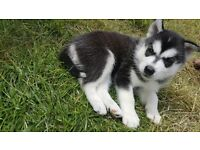 Syberian husky puppies for sale