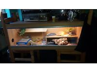 Female bearded Dragon with viv and whole set up