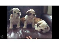 Stunning bulldog pups
