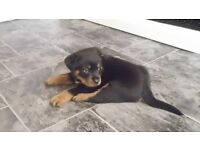 Rottweiler Puppies Ready soon !!!!