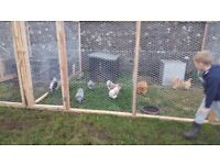 Various poultry for sale