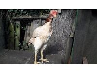 100% pure quality aseel hen for sale