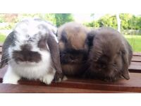 Bunny Baby Rabbits Buckinghamshire-grey, butterfly and brown