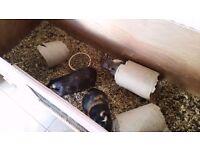 Guinea pigs free to 5*home