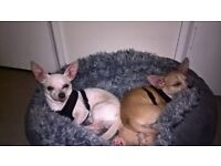 2 male Chihuahuas must stay together